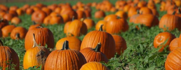pumpkin_patch01_6d2b0614-5056-b3a8-49f9a07d447a1ba1