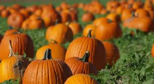 pumpkin_patch02_f28986d8-5056-b3a8-49f50b6c5b3fd06b