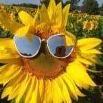 sunflower1_C952E9F6-60C5-4978-8996430EEC17932F_e40159d5-187e-403b-b6c22b39651492e5